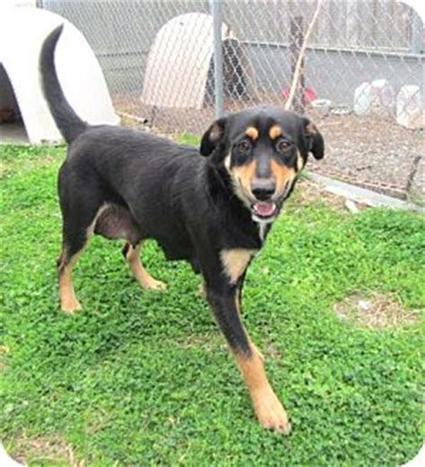rottweiler labrador retriever mix labrador retriever mix rottweiler