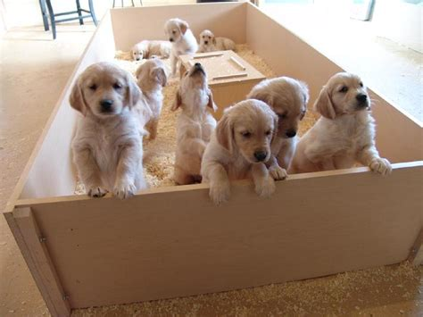 golden retriever colorado colorado golden retriever puppies