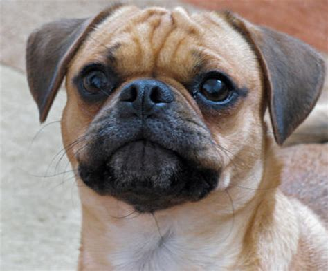 popular pug mixes dave the pug mix dogs daily puppy