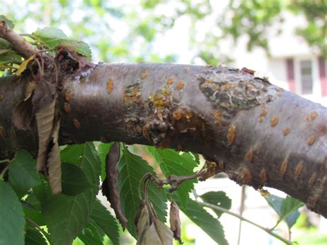 weeping cherry tree ask an expert
