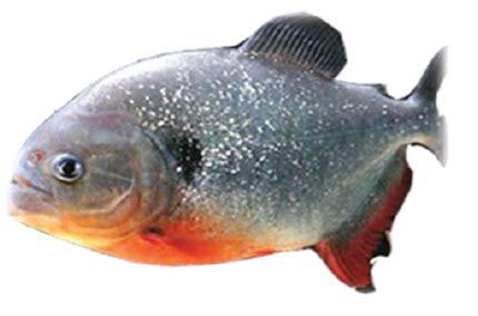 jenis ikan air tawar  indonesia   dikonsumsi