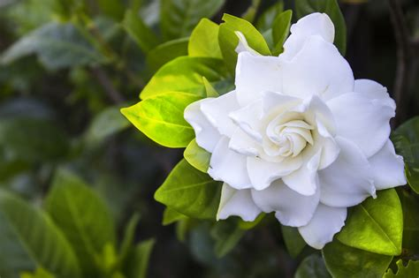 Gardenia by Top 10 Plants For Bedrooms To Help You Sleep Better