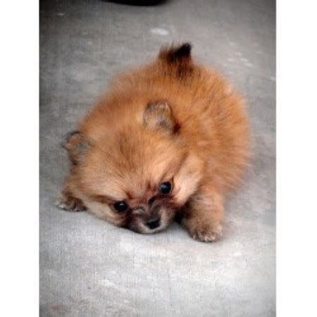 pomeranian puppies for sale in tucson az teacup chihuahua rescue arizona breeds picture