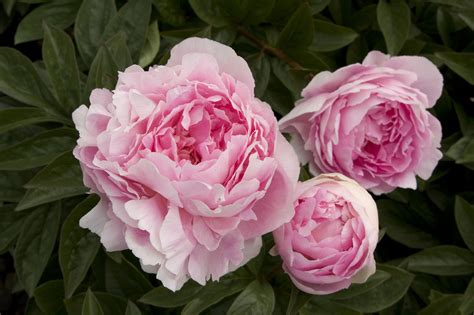 how to grow peonies sunset
