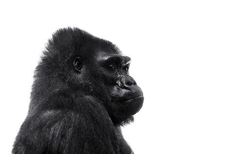 gorilla photo ernie 8x10 black and white
