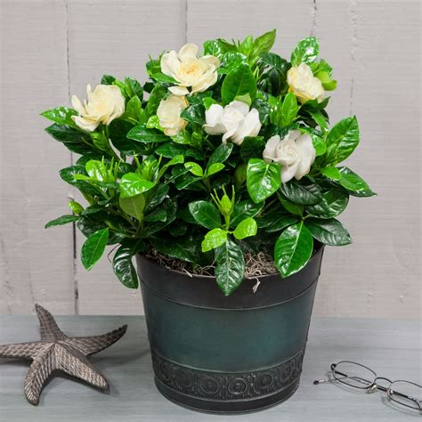 gardenia  large rustic blue container flowering plants