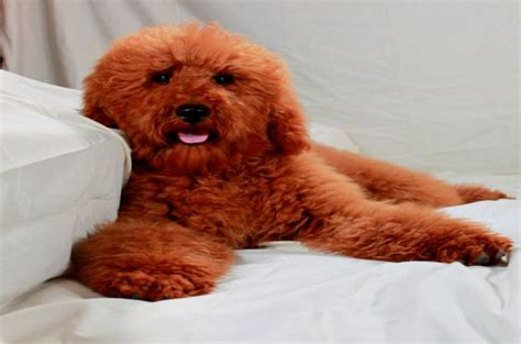 pictures of different types of poodles types of poodle dog life photo
