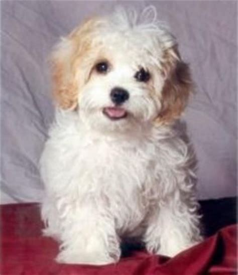 hypoallergenic puppies king charles puppy and bichon