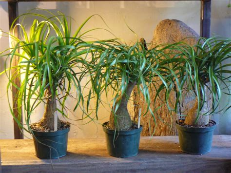 ponytail palm beaucarnea recurvata  palm room