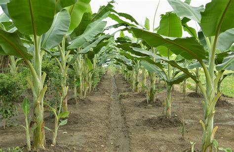 Pupuk Bunga Lebat cara menanam pisang agar berbuah lebat belajar berkebun