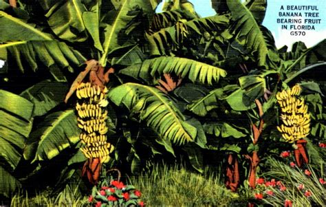 how before a banana tree bears fruit florida memory a beautiful banana tree bearing fruit in