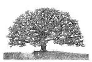 Oak Tree Drawing The Importance Of Family Ink Drawings And Drawings