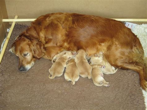 golden retriever puppies ontario for sale golden retriever puppy for sale breeds picture