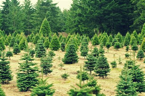 how to maintain a living christmas tree farm and dairy