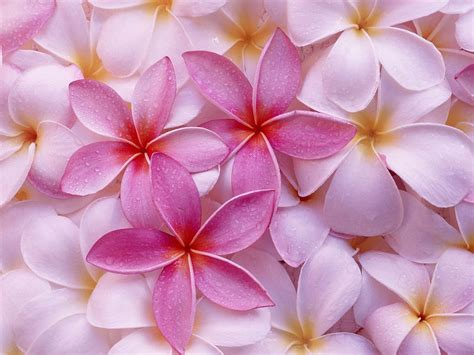 Pink Flower Desktop | wallpapers pink flowers wallpapers