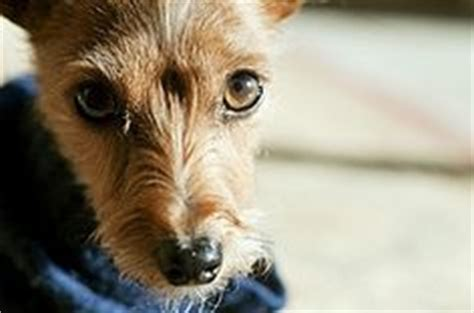 my yorkie has fleas 1000 images about i rescued a yorkie terrier mix on yorkie rat terriers
