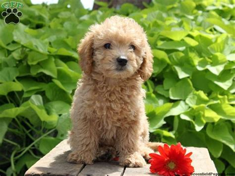 mini labradoodle puppies for sale in pa 1000 images about miniature labradoodles on miniature labradoodle