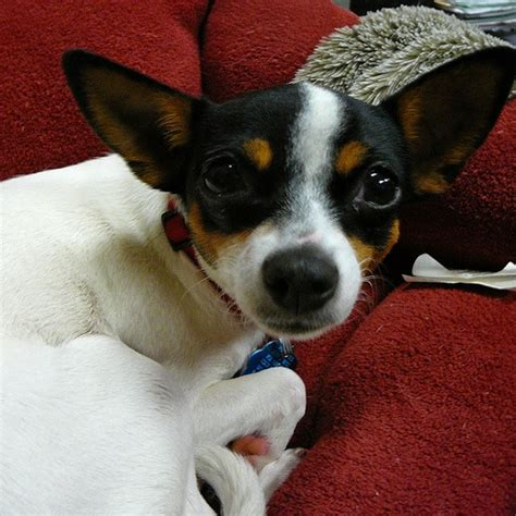 rat terrier chihuahua mix puppies 17 best images about rat terrier on chihuahuas adoption and chihuahua dogs