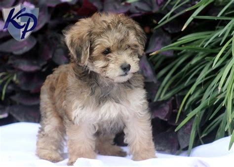 havapoo puppies for sale 25 best ideas about hypoallergenic puppies on small hypoallergenic dogs