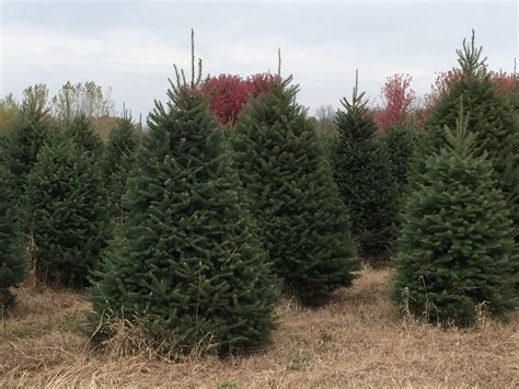 heinerman tree farm wv whispering pines tree farm thome road tree farm christmastreefarms net