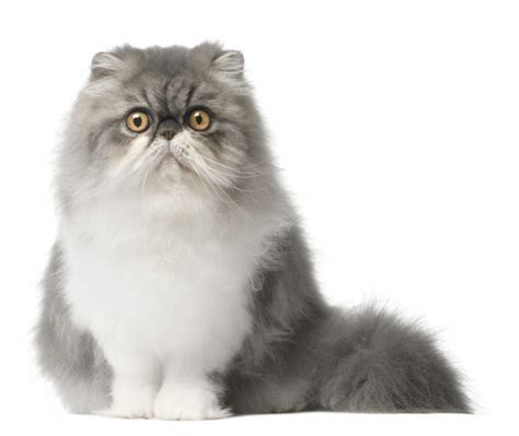 gatti persiani gatto persiano da salotto sontuosamente bello e