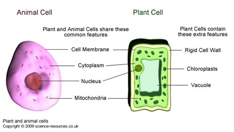 up letter between plant and animal cell science resources co uk cells and their activities