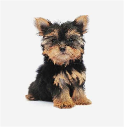 five yorkies terrier scheda razza su cani it