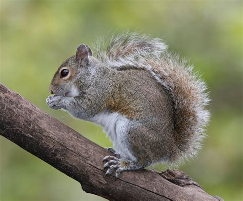 file eastern grey squirrel jpg wikipedia