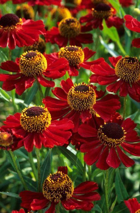1000 ideas about perennials on gardening