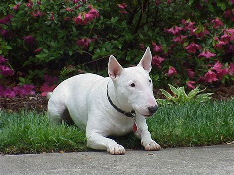bull terrier bull terrier razas de perros mascotas