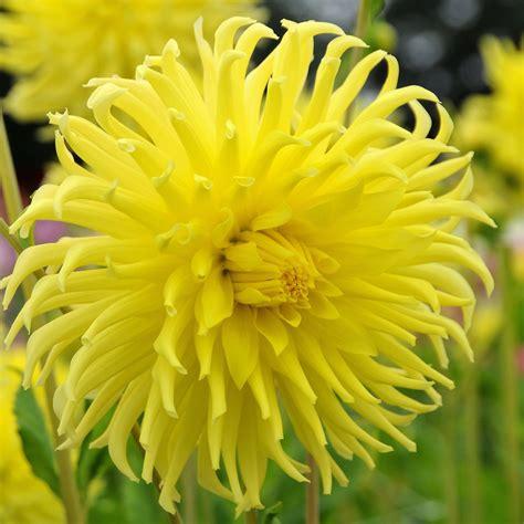 dahlia yellow star easy  grow bulbs