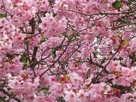 fiori di ciliegio significato e immagini idee green