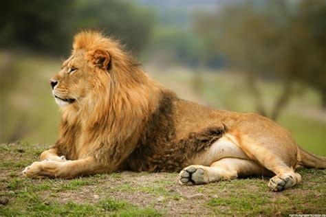 imagenes de leones rugientes 191 cu 225 ntos a 241 os vive un le 243 n