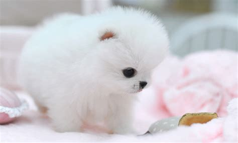 white fluffy teacup pomeranian puppies teacup pomeranian puppy on all different levels teacup