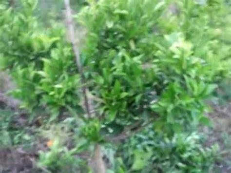 aves de mi patio en el barrio naranjo comerio puerto rico flickr naranjos videolike