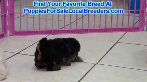 yorkie poo puppies for sale in sc yorkie poo puppies for sale in columbia south carolina sc 19breeders mount