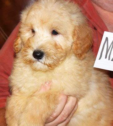 Adding Water To Puppy Food - basic preparation for your new goldendoodle puppy
