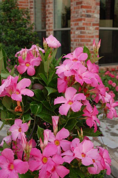 Mandevilla Pink 1 pink mandevilla summer time to some