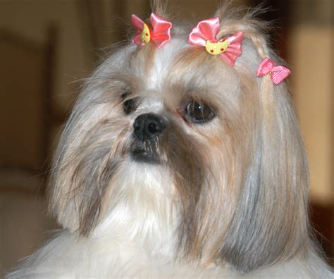 when do shih tzu puppies open their shih tzu a message spirit animal totems