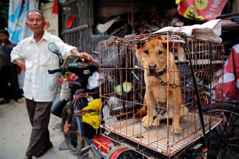 yulin festival 2017 china s festival is now banned from selling sick chirpse