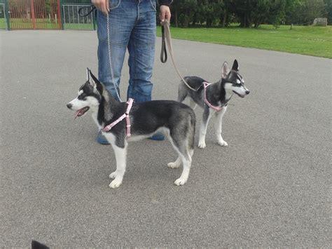 how big do pomeranian husky mix get ours dogs breezeblue pomskies