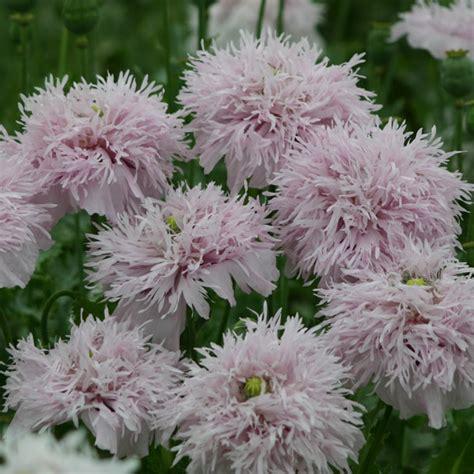 buy opium poppy papaver somniferum lilac pompom delivery by crocus co uk flowers pinterest