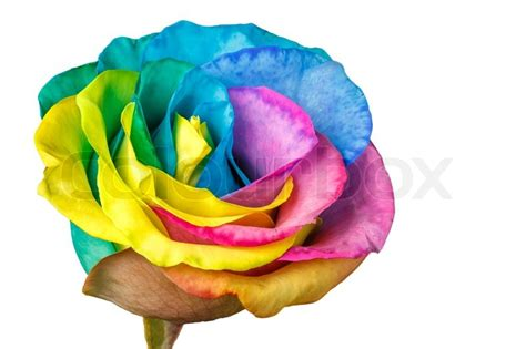 Box A Single Rainbow Multicolor Happy Preserved Flower rainbow flower isolated on a white background stock photo colourbox