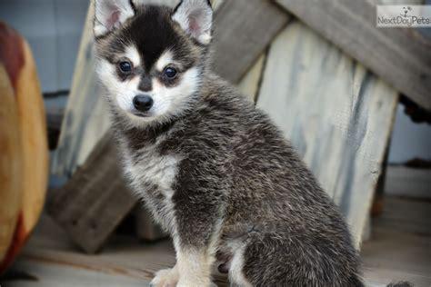 pomsky puppies for adoption pomsky puppy for adoption near southeast ks kansas 6820ef0f 6062