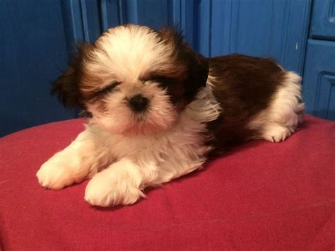 kc registered shih tzu puppies for sale kc registered shih tzu puppies northton northtonshire pets4homes