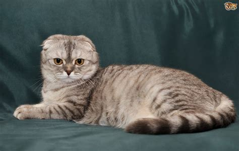 Scottish Fold Cat Breed Information, Buying Advice, Photos