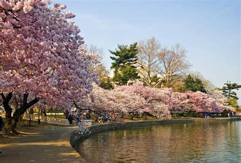 d c cherry trees 8 facts about washington dc s cherry blossom festival roadtrippers