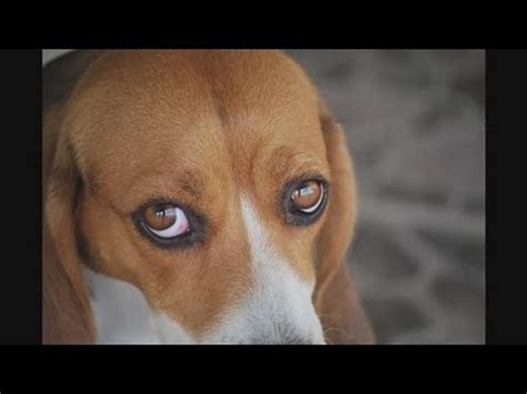 rottweiler eye infections cherry eye treatment home remedy for dogs k9 1 doovi
