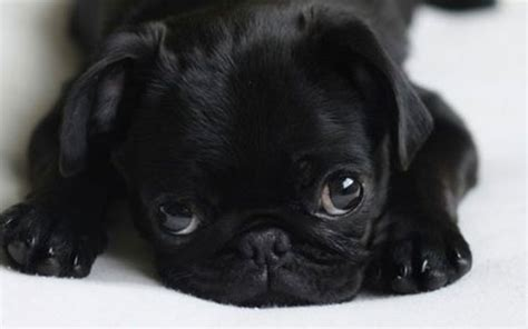 baby pug black baby pug wallpaper