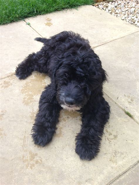 border doodle puppies for sale collie doodle puppy bourne lincolnshire pets4homes